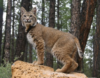 Bobcats a danger to small pets, not people | Tennessee Wildlife Resources Agency, wild animals, Middle Tennessee, Brentwood TN news, bobcats, coyotes, blue herons, foxes, armadillos, Brentwoodhomepage.com, Brentwood Home Page, neighborhoods, BHP, Doug Markham