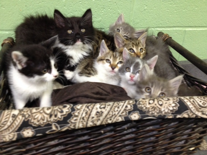 Right meow: WCAC needs kittens, cats to find new homes | Williamson County Animal Center, feline adoption, reduce, $10, cats, kittens