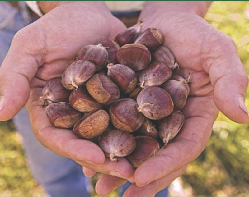 Blight-resistant chestnut trees offer hope for recovery of the species